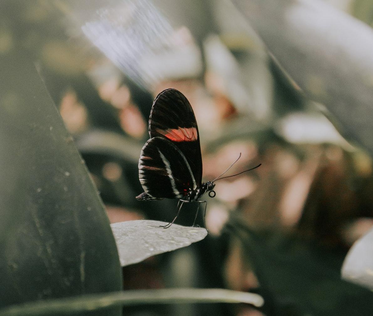 Hoogdag van zwarte vlinders